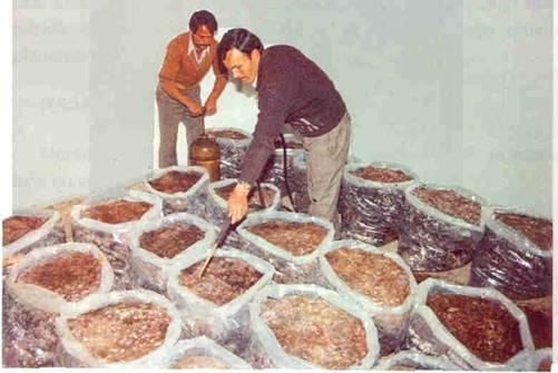 Örtü toprağı serilmeden önce ilaçlamanın yapılması kültür mantarı 2